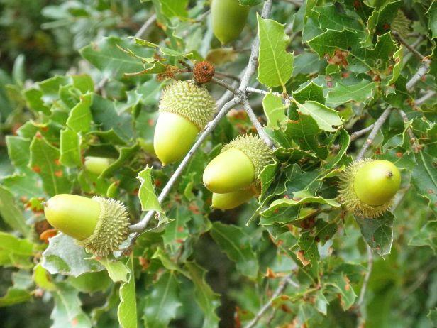 1200px-Quercus_coccifera_Bellotas_2010-10-03_DehesaBoyaldePuertollano