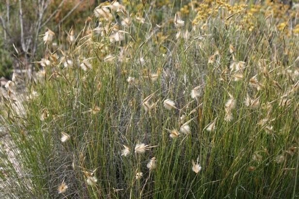 Albardí, Albardín (Lygeum Espartum)