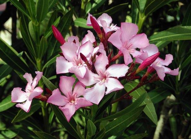 Baladre, Adelfa (Nerium oleander)