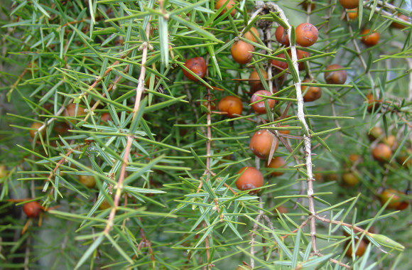 Juniperus oxycedrus1