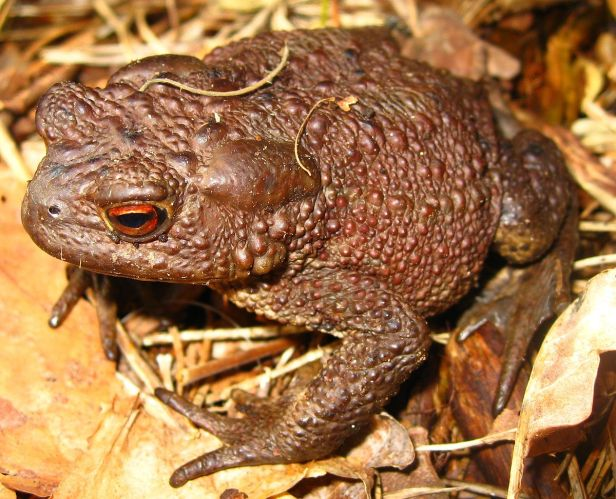 1200px-Common_Toad_(Bufo_bufo)