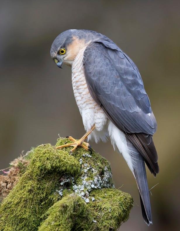 eurasian_sparrowhawk_by_steve_ward.jpg