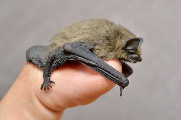 tiny-pipistrelle-bat.jpg.1200x0_q70_crop-smart
