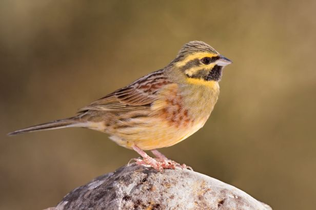 1200px-Emberiza_cirlus_-Valencian_Community,_Spain_-male-8_(1)