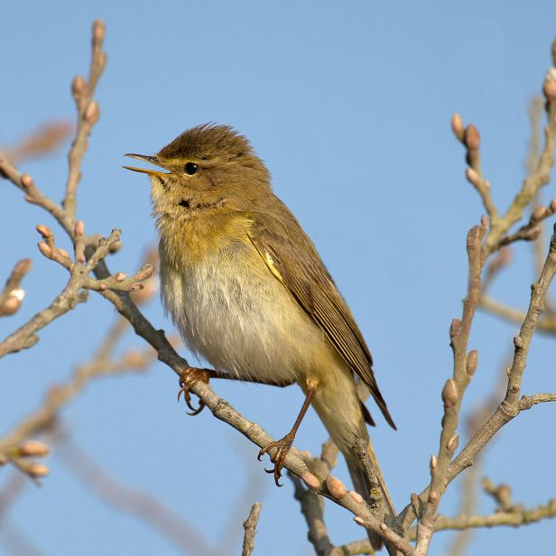 1200px-Willow_Warbler_Phylloscopus_trochilus