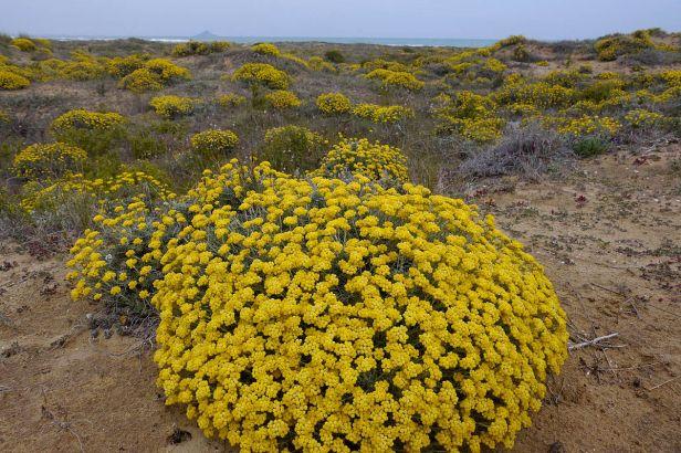 Helichrysum_stoechas830