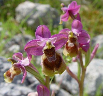 Ophrys_tenthredinifera_a